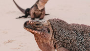 iguanas on beach